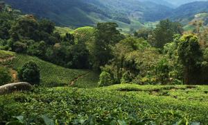 Malaisie : Visite des Cameron Highlands, les plantations de thé