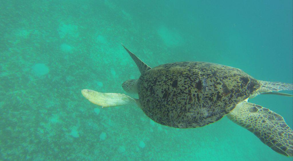tortue-malaisie
