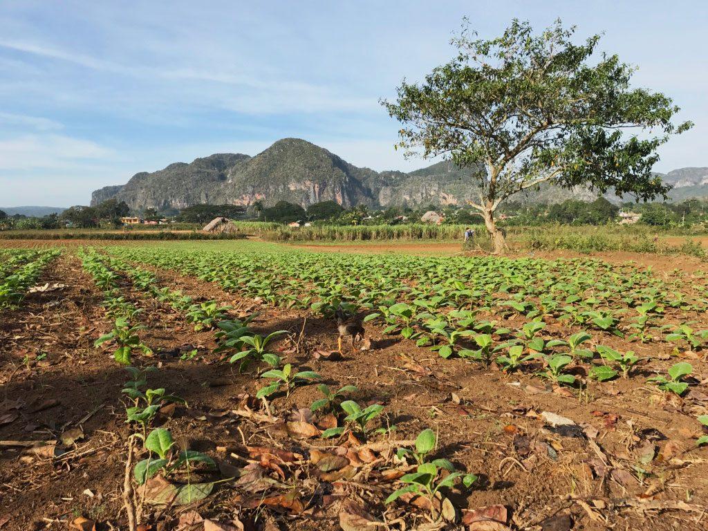 Vinales plantation de tabac